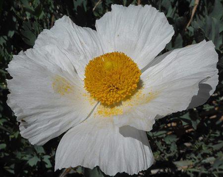 Romneya trichocalyz flower