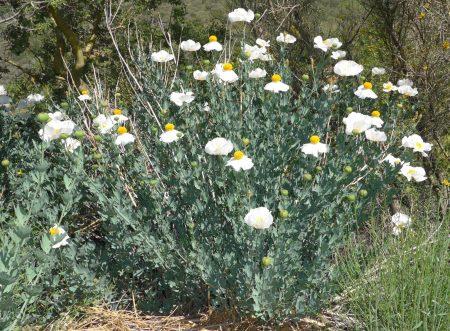 Romneya trichocalyz plant