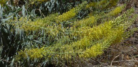 Stanleya-pinnata-flowerspikes