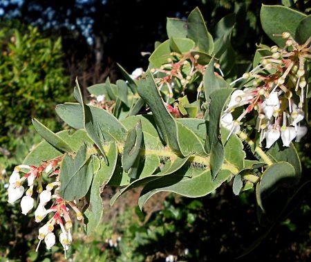 Arctostaphylos purissima branch2
