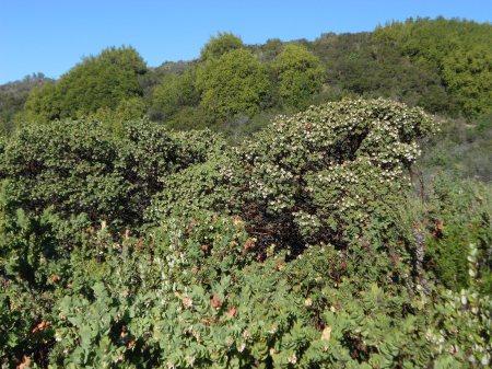 Arctostaphylos purissima plants