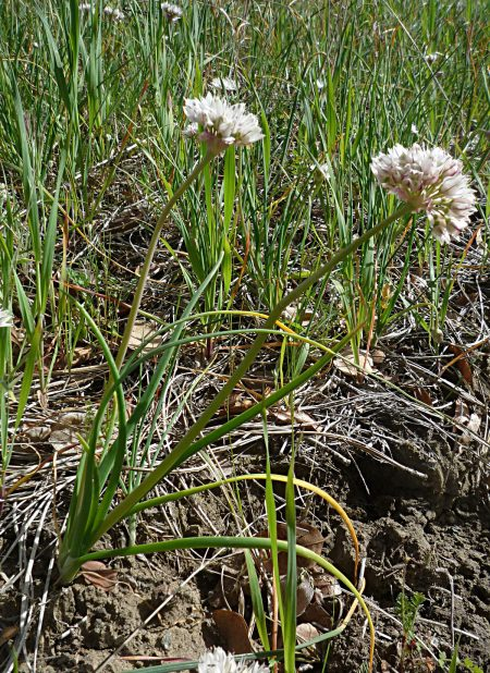 Allium haematochiton plant