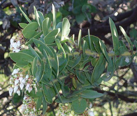Arctostaphylos refugioensis flowers