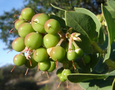 Arctostaphylos refugioensis fruits