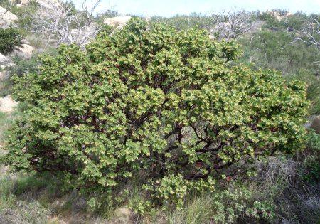 Arctostaphylos refugioensis plant