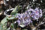 Ceanothus leucodermis flowers