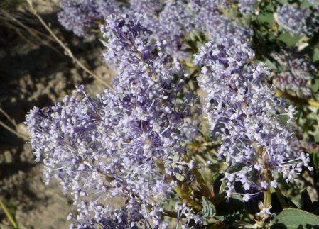 Ceanothus leucodermis flowers2