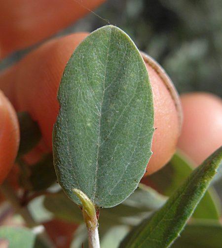 Ceanothus leucodermis leaf