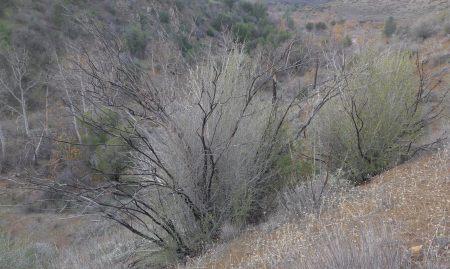 Ceanothus leucodermis fire regeneration