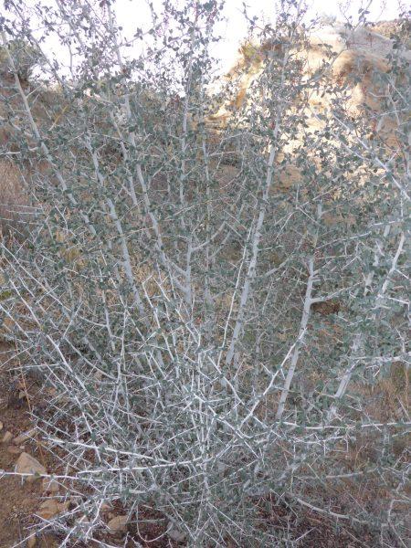 Ceanothus leucodermis whitethorn