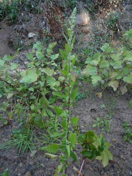 Chenopodium berlandieri plant