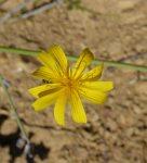 Chondrilla juncea flower