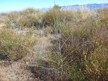 Chondrilla juncea plant