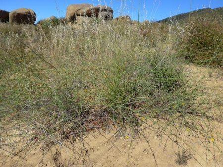 Chondrilla juncea plants