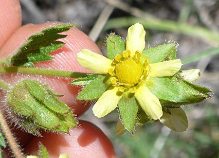 Drymocallis glandulosa ssp reflexa flower