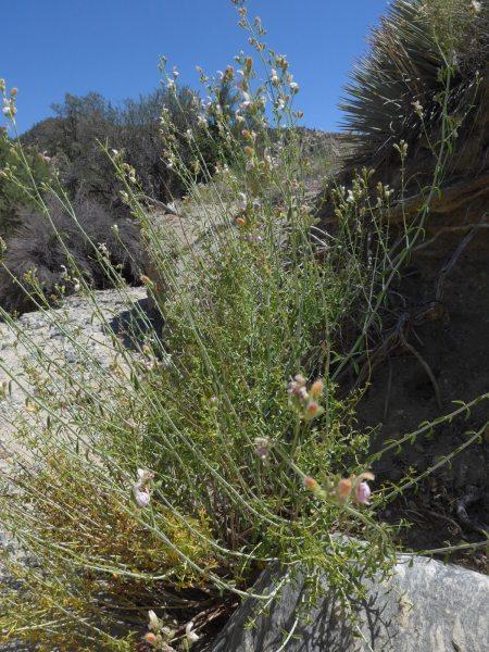 Keckiella breviflora plant