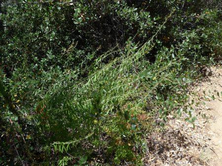 Keckiella ternata plants
