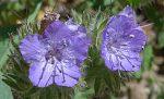 Phacelia tanacetifolia flowers