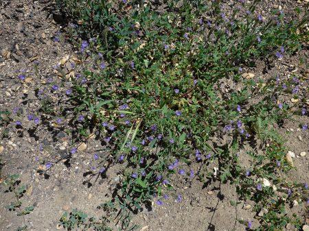 Phacelia tanacetifolia plant