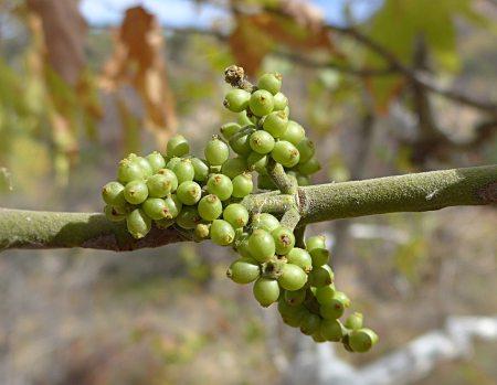 Phoradendron leucarpum ssp macrophyllum berries