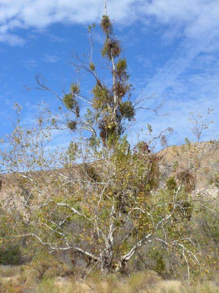Phoradendron leucarpum ssp macrophyllum host