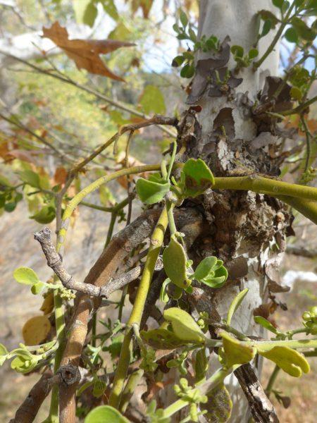 Phoradendron leucarpum ssp macrophyllum roots