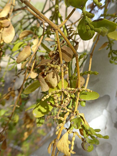 Phoradendron leucarpum ssp macrophyllum stem