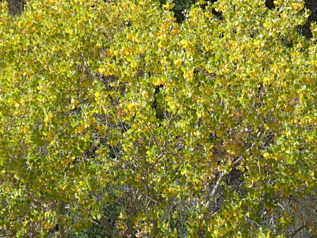 Populus fremontii fall-color