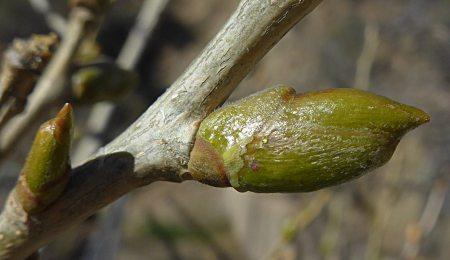 Populus fremontii leaf-bud