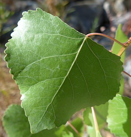Populus fremontii leaf
