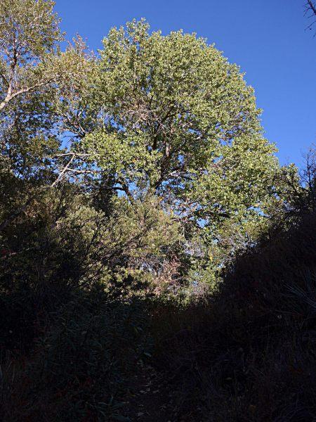 Populus fremontii tree