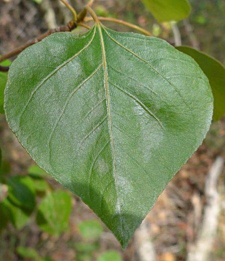 Populus trichocarpa leaf
