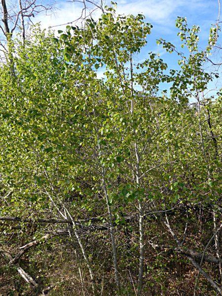 Populus trichocarpa saplings