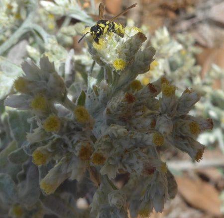 Pseudognaphalium stramineum flower