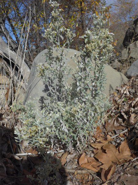Pseudognaphalium stramineum plant