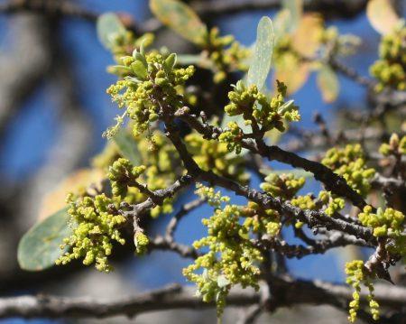 Quercus douglasii flowers