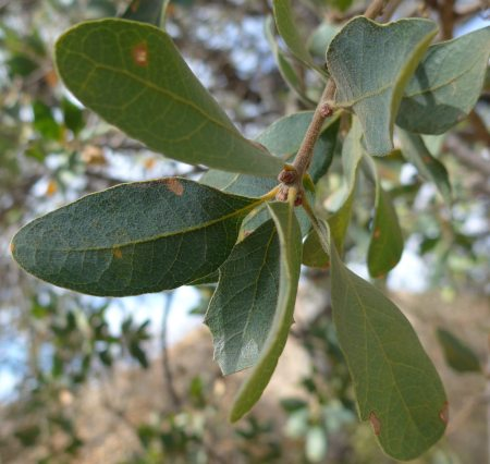 Quercus douglasii leaves