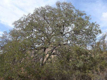 Quercus douglasii plant