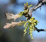 Quercus lobata flower