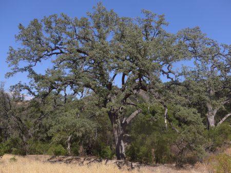 Quercus lobata plant