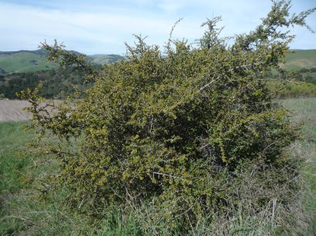Rhamnus crocea plant