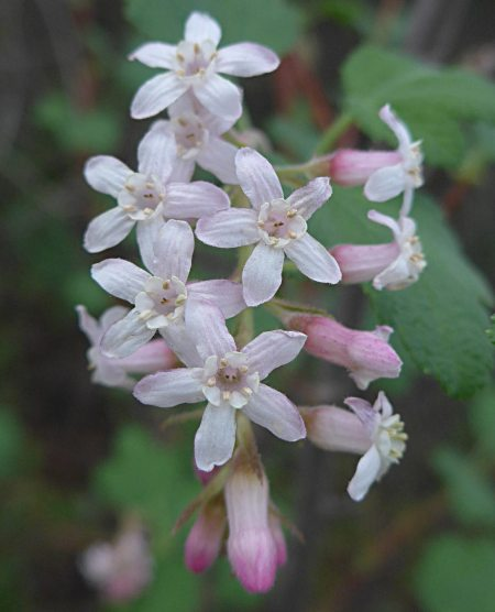 Ribes indecorum flowers