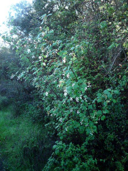 Ribes indecorum plant