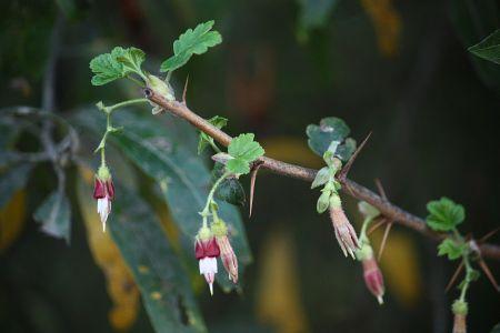 Ribes menziesii flowers