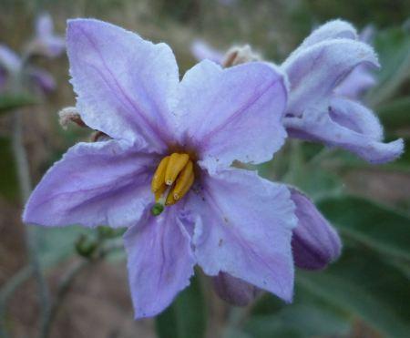Solanum lanceolatum flower