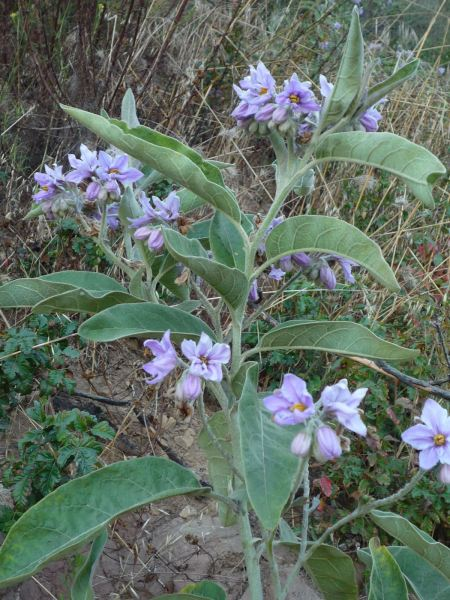 Solanum lanceolatum plant
