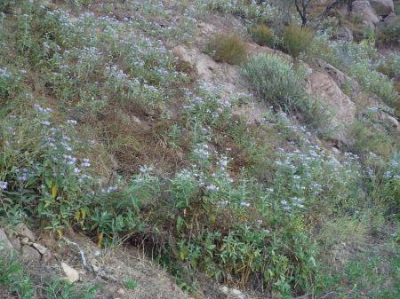 Solanum lanceolatum hillside