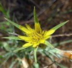 Tragopogon dubius flower