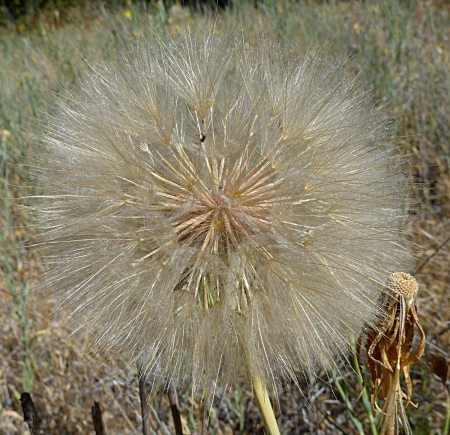 Tragopogon dubius seedhead