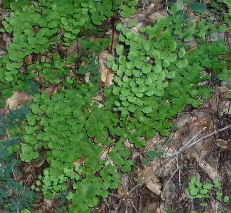 Adiantum jordanii leaf